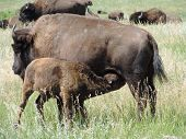 Young Buffalo Feeding.