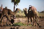 foto of dromedaries  - Several dromedaries in the West Sahara in Marrakech - JPG