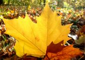 Autumn Planetree Leaf Felt On The Forest Ground