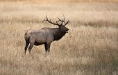 North American Elk