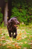 young labrador retriever dog in autumn