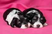 Two Cute Lying Havanese Puppies Dog On A Pink Bedspread