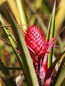 Developing Pineapple fruit