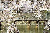 Beautiful Sakura Season, Japan