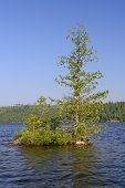 Lone Pine On Wilderness Lake