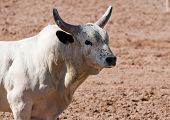 stock photo of brahma-bull  - a bull without a rider is loose in a rodeo arena - JPG