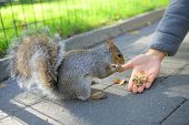 Curious squirrel with nut in Central Park, New York CityCurious squirrel with nut in Central Park, N