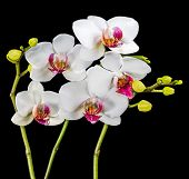 Blooming Branches White And Red Orchid Flower (phalaenopsis) With Bud Is  Isolated On Black Backgrou