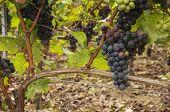 Black Grapes on the vine.