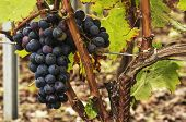 stock photo of bordeaux  - Black grapes ready for harvest from Saint Emilion - JPG
