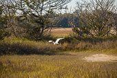 Snowy Egret Flying Across Wetland Marsh