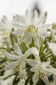 White Allium Ornamental Flowers