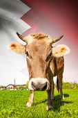 image of bahrain  - Cow with flag on background series  - JPG