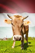 Cow With Flag On Background Series - Hungary