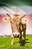 Cow With Flag On Background Series - Iran