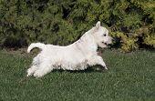 Cute Westie Puppy