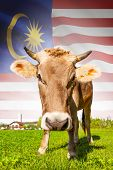 Cow With Flag On Background Series - Malaysia