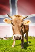 Cow With Flag On Background Series - Norway