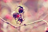 Dog Rose Berries  In Garden