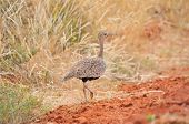 Female Red-crested Korhaan Or Red-crested Bustard