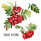 Bunches of red rowan