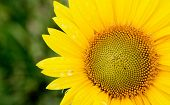 Beautiful sunflower with bright yellow with a green of background