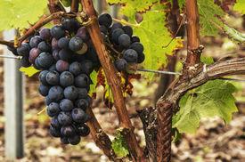 picture of bordeaux  - Black grapes ready for harvest from Saint Emilion - JPG