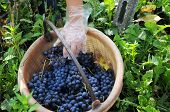 picture of moscato  - Harvest hand basket grapes black barbera leaf - JPG