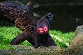 stock photo of macaque  - Celebes crested macaque  - JPG