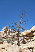Dead Tree Joshua Tree