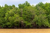 Mangroves In The Delta Of The Tropical River