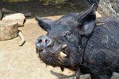 Black pig portrait