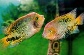 Aquarium Fish Cichlasoma Synspilumn