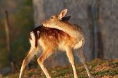 stock photo of calf  - fallow deer calf  - JPG