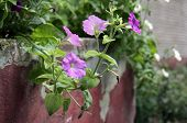 stock photo of harebell  - Beautiful flower decoration best anywhere in the world - JPG