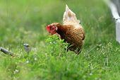 Hen Looking For Food
