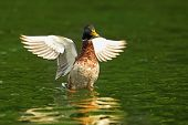 foto of male mallard  - male mallard with wings spread on green surface of the lake - JPG