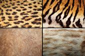 Wild Felines Fur Collection