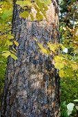 Drawing Of A Bark Of A Tree A Cedar