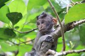 Baby Monkey Playing The The Trees Of Balinese Jungle