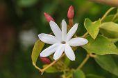 pic of jasmine  - White Jasmine flowers on tree in garden - JPG