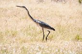 Black-headed Heron At Sir Lowreys Pass