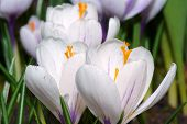 White spring crocus flowers