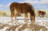 picture of foal  - In the photo young foals search for food under the snow in early spring - JPG