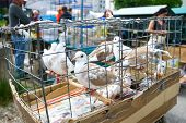 pic of caged  - Large group of whitebrown pigeons in a cage on the market ready for sale.
