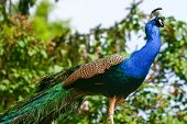 Blue Peacock Standing