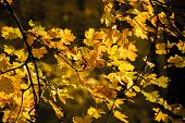 fall. yellow leaves