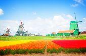 dutch windmills over  flower fields