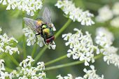 Greenbottle Fly on White Flowers