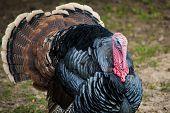 picture of wild turkey  - Wild Tom Turkey  - JPG
